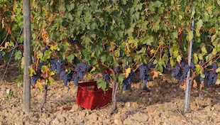 《酿造优质葡萄酒》