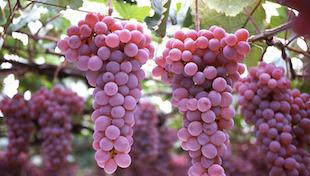 日本葡萄酒产区概况