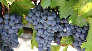 单一品种葡萄酒 品尝原味魅力