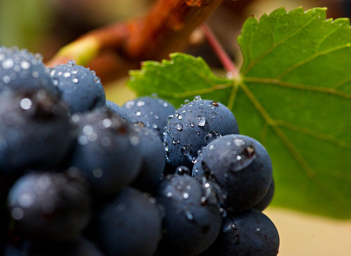 Cépage - 葡萄品种-葡萄种类
