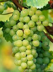 白皮诺Pinot blanc