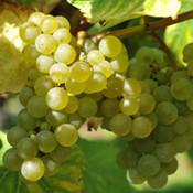 白谢瓦尔Seyval Blanc