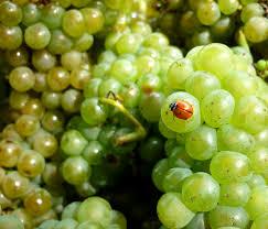 勃艮第香瓜Melon de Bourgogne