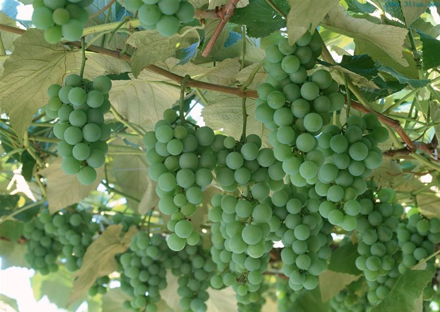 Orvieto白葡萄酒混酿Orvieto Wine Blend
