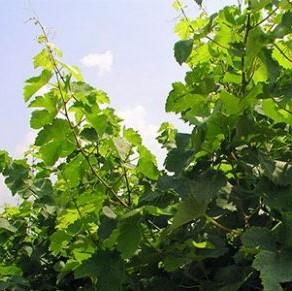 比欧盟标准更严!普罗赛科法定产区酒将禁用甘草磷等化学喷剂