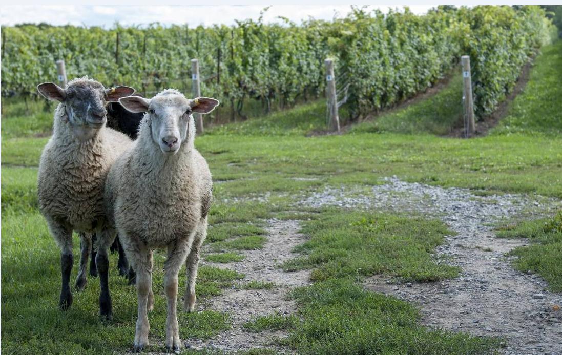 羊群绕膝&私厨宠溺,来一场尼亚加拉私密酒旅