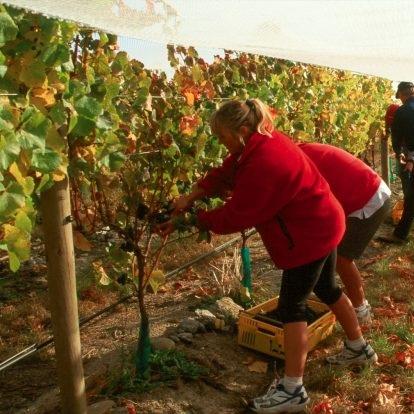 法国葡萄园面临自1945年以来最低收成