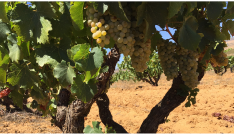 干旱或将导致南非2018葡萄酒减产25%以上
