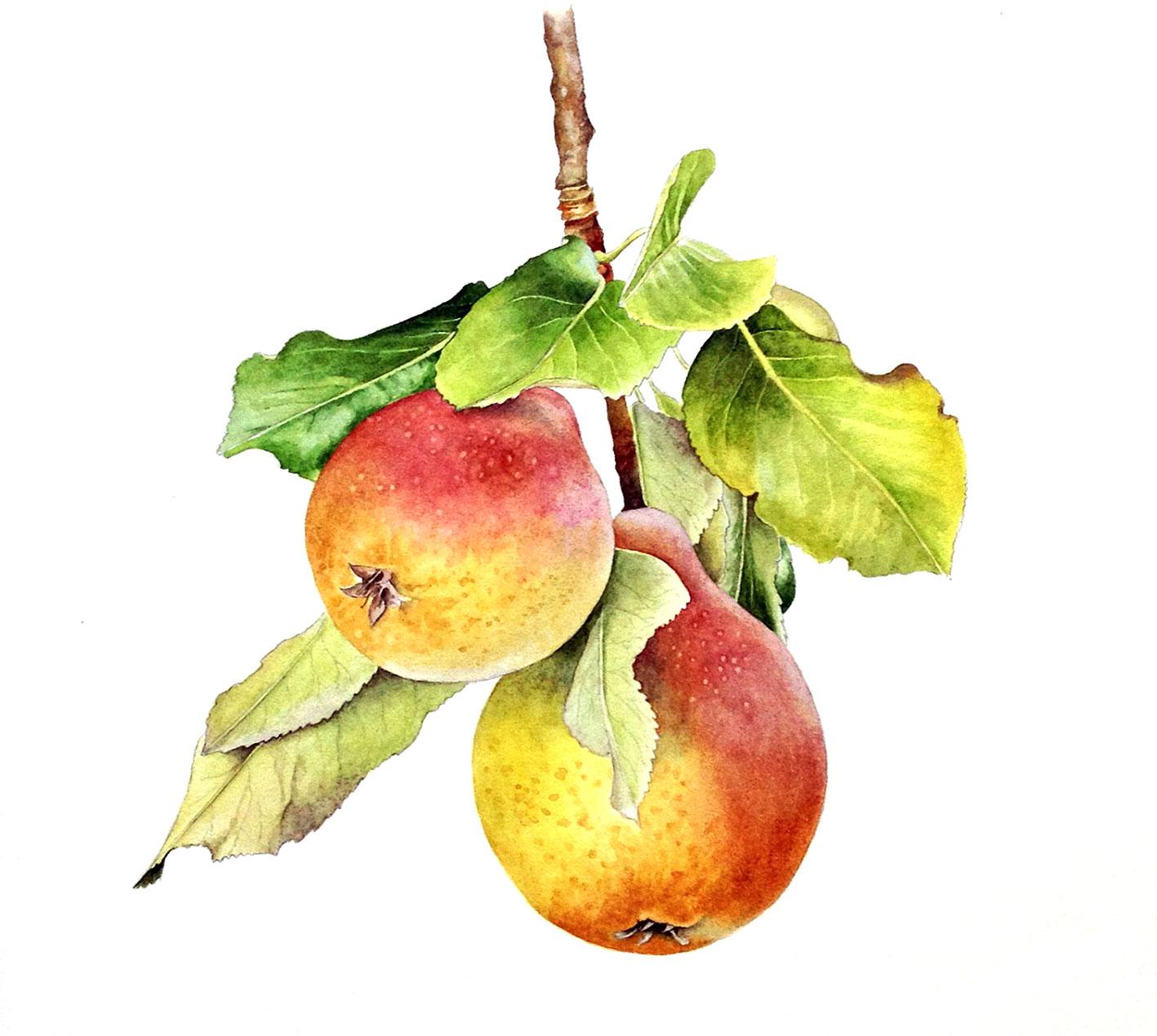 具有巨大的躯干和发达的树冠,由于他们的庞大尺寸,这些梨树常会被用作