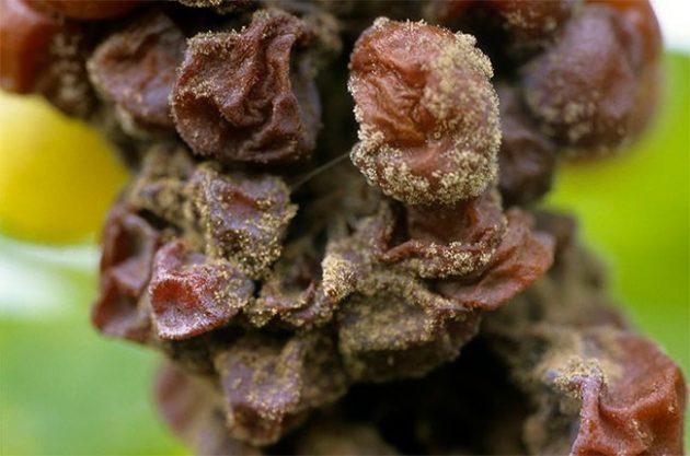 贵腐菌是怎么影响葡萄酒的风味?