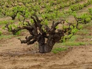 老藤葡萄酒到底好在哪里?