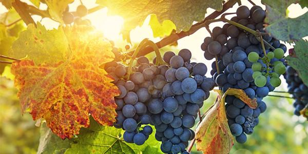 为什么赤霞珠能成为红葡萄品种之王?